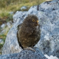 Kea, Hunter Mountains, Fiordland