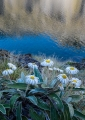 Daisies and tarn, Hunter Mountains, Fiordland
