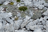 Daisy rockery, Hunter Mountains, Fiordland