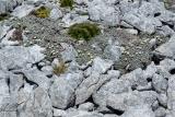 Daisy rockery, Hunter Mountains, Fiordland