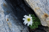 Ranunculus buchananii, Hunter Mountains, Fiordland