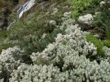 Subalpine shrubbery