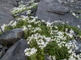 Snow Marguerites and diorite