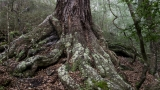 Red Beech trunk