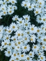 Snow Marguerites