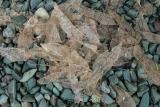 Leaf skeletons, Lake Alabaster