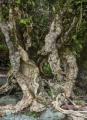 Ancient, wave-battered tree, Lake Alabaster
