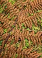 Fallen frond of tree fern, Hollyford Valley