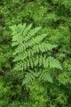 Fern and filmy ferns
