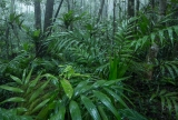 Palms in upland rainforest