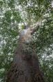 Black Kauri