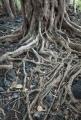 Figroots in creekbed