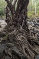 Ancient creek tree