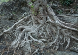 Fig roots and black rock