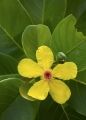 Flower, Golden Guinea Tree
