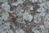 Conglomerate and lichen