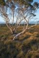 Paperbarks, Starcke plateau