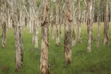 Paperbark meadow, Barneys Lake