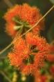 Scarlet Gum flowers