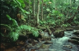Rainforest, upper Pascoe River