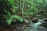 Rainforest, upper Pascoe River