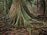 Giant fig, Juunju Daarrba Nhirrpan National Park