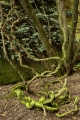 Lianas, Ferntree Gully Environmental Reserve
