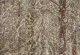 Cypress pines, Goulburn River National Park