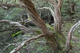 Veteran Tea Tree, Hampton State Forest