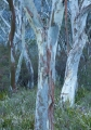 Snow Gums, Hampton State Forest