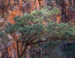 Sun-tipped pine