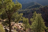 Cypress Pines
