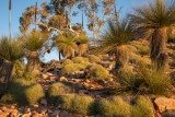 Grasstrees and spinifex