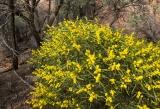 Rare wattle, Mawson Plateau