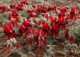 Sturts Desert Pea, Arkaroola