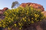 Wattle, Mawson Plateau