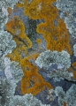 Lichens and schist, West Coast