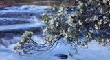 Leatherwood flowering