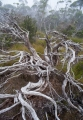 Subalpine woodland