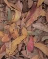 Eucalypt leaves, Narawntapu National Park