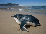 Little Penguin, South Coast