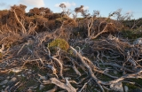 Storm-battered coastal scrub