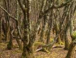 Pomaderris forest