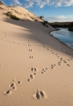 Tasmanian Devil and Bennetts Wallaby tracks