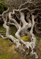 Old Banksia, West Coast