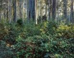 Morning light, Blue Gum Forest