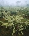 Flowering hakea