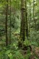 Coachwood and rainforest