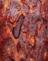 Scribbly Gum, burnt