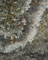 Lichens on sandstone, Wolgan Valley